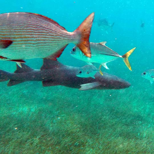 Belize-Guide-Co-snorkel-fish-shark