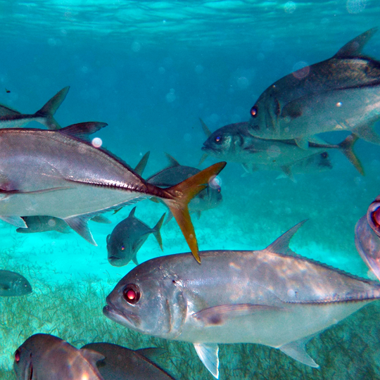 Belize-Guide-Co-snorkel-large-fish