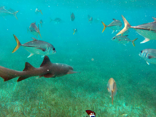 Belize-Guide-Co-snorkel-shark-fish