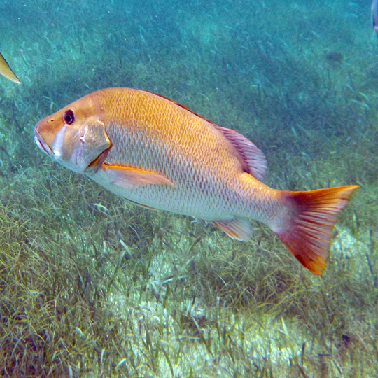 Belize-Guide-Co-snorkel-yellow-tail